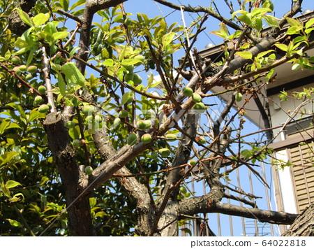 我们家种植许多水果的李子树 64022818