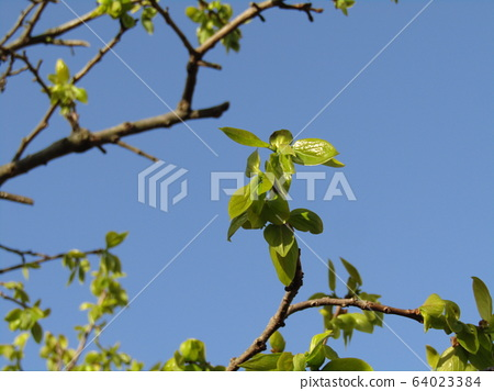 Young leaves of persimmon trees 64023384
