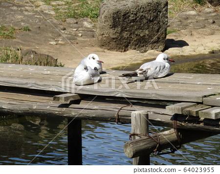 Yury Gull of Chiba Park Cotton Pond 64023955