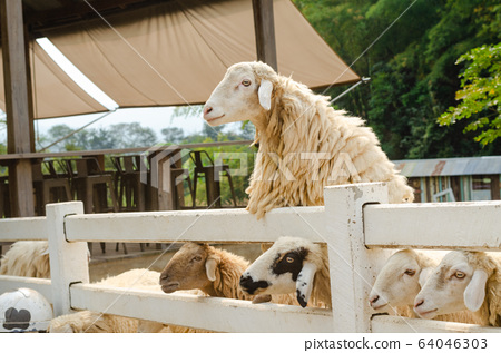 sheep at countryside farm in Thailand 64046303
