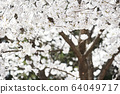春天風景櫻花韓國 64049717