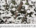 春天風景櫻花韓國 64049718