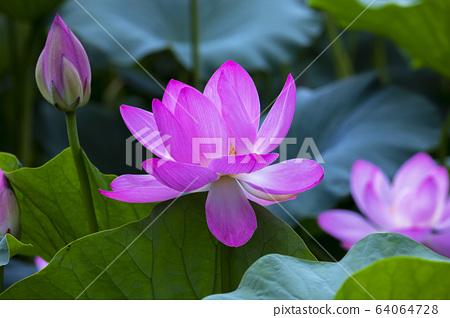 연꽃,홍련,식물,불교 64064728