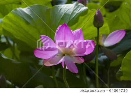 연꽃,홍련,식물,불교 64064736