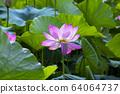 蓮花,紅蓮花,植物,佛教 64064737