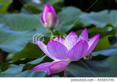 연꽃,홍련,식물,불교 64064740