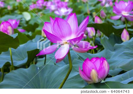 연꽃,홍련,식물,불교 64064743