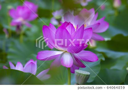 연꽃,홍련,식물,불교 64064859