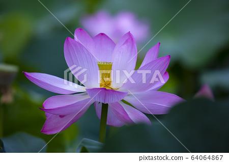 연꽃,홍련,식물,불교 64064867