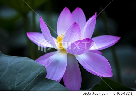 연꽃,홍련,식물,불교 64064871