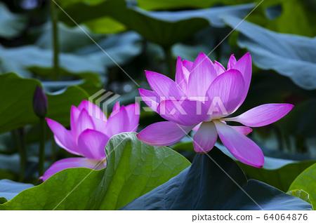 연꽃,홍련,식물,불교 64064876