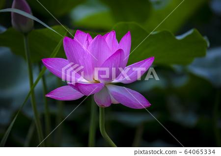 연꽃,홍련,식물,불교 64065334