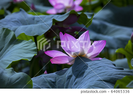 Lotus, red lotus, plant, buddhism 64065336