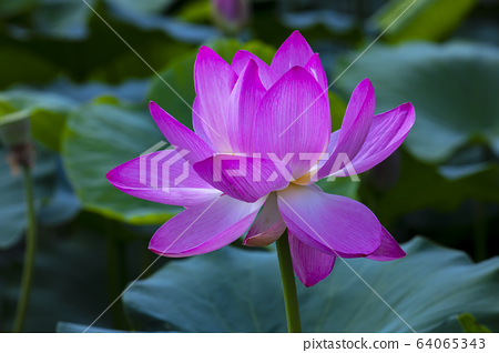 연꽃,홍련,식물,불교 64065343