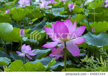 연꽃,홍련,식물,불교 64065344