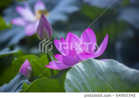 연꽃,홍련,식물,불교 64065348