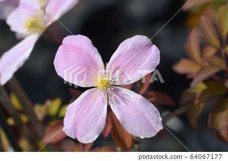 Clematis Fragrant Spring 64067177