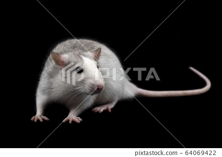 Gray rat isolated on dark black background. 64069422