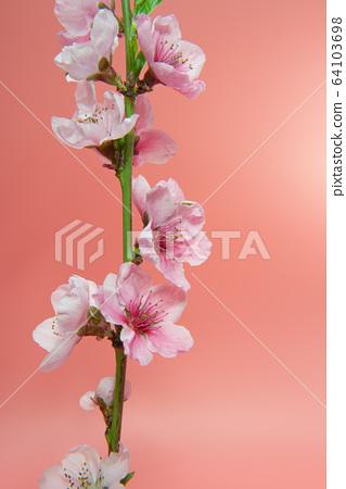 sakura flowers 64103698