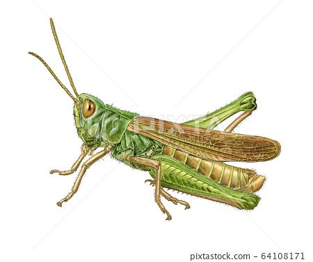 메뚜기 세밀화 64108171