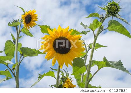 sunflower 64127684