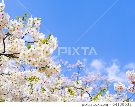 Blue sky and cherry blossoms in full bloom 64139035