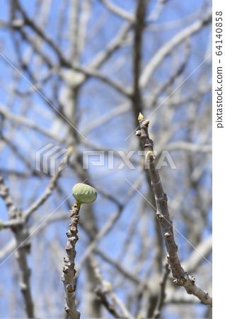 Common fig 64140858