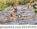 Beautiful Royal Bengal Tiger resting in Ranthambore National Park, Rajasthan, India 64145492