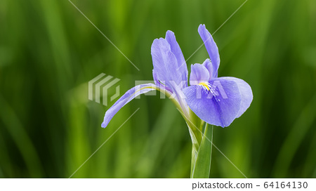 Violet iris flowers (Iris germanica) on blurred 64164130