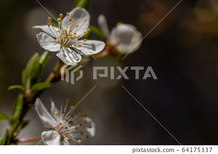 Blooming cherry plum on a sunny day 64175337