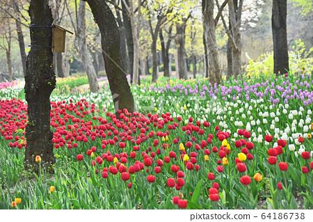 五顏六色的鬱金香花,四月的標誌性春天的花朵 64186738