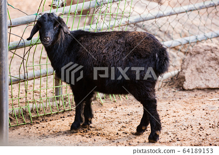Animal Farm - ostrich, sheep, black goat, cattle and chicken 048 64189153