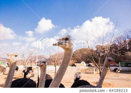 Animal Farm - ostrich, sheep, black goat, cattle and chicken 005 64189213