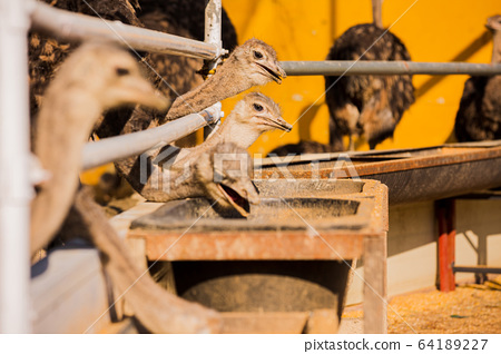 Animal Farm - ostrich, sheep, black goat, cattle and chicken 054 64189227