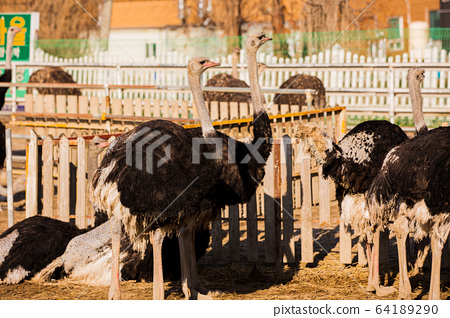 Animal Farm - ostrich, sheep, black goat, cattle and chicken 013 64189290