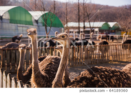 Animal Farm - ostrich, sheep, black goat, cattle and chicken 051 64189360