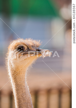 Animal Farm - ostrich, sheep, black goat, cattle and chicken 038 64189367