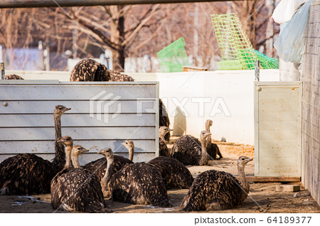 Animal Farm - ostrich, sheep, black goat, cattle and chicken 018 64189377