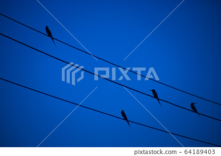The bird on power lines with deep blue color. 64189403