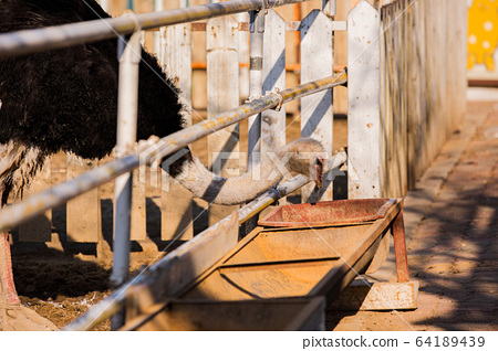 Animal Farm - ostrich, sheep, black goat, cattle and chicken 081 64189439