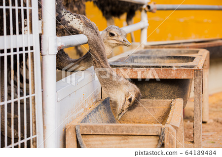 Animal Farm - ostrich, sheep, black goat, cattle and chicken 033 64189484
