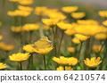 노란 크리산세멈 꽃에 앉아  짝짓기 하는 나비 두 마리 64210574