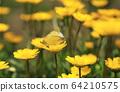 노란 크리산세멈 꽃에 앉아  짝짓기 하는 나비 두 마리 64210575