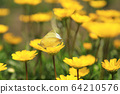 노란 크리산세멈 꽃에 앉아  짝짓기 하는 나비 두 마리 64210576