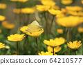 노란 크리산세멈 꽃에 앉아  짝짓기 하는 나비 두 마리 64210577