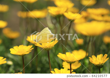 Two butterflies mating on yellow chrysanthemum flowers 64210577