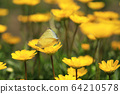Two butterflies mating on yellow chrysanthemum flowers 64210578