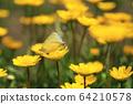 노란 크리산세멈 꽃에 앉아  짝짓기 하는 나비 두 마리 64210578