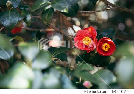 Maryang-ri Camellia Forest in Seocheon, Korea 64210710