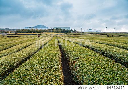 Osulloc green tea field in Jeju Island, Korea 64210845